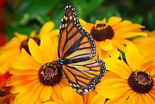 Butterfly on Susans