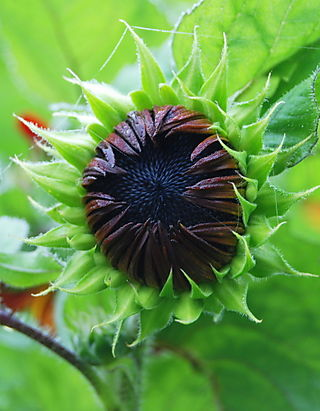 Sunflower opening