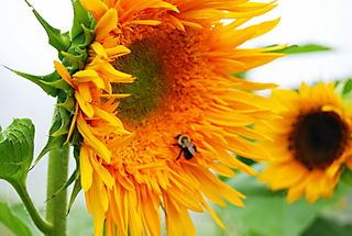 Sunflowers and a bee