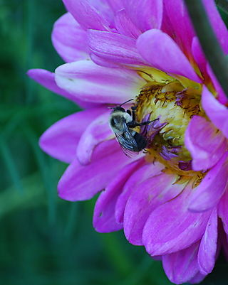 Dahlia and a bee