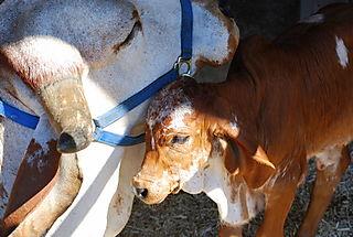 Mama baby cow love