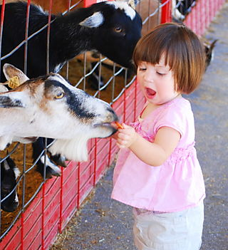 Feeding the goats 2