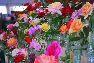 Roses on display