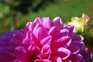 Dew on pink Dahlia