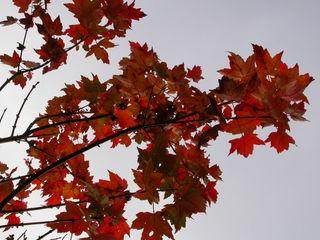 Fall leaf silhouette