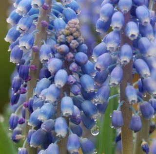 Grape Hyacinth after the rain
