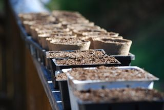 Peat pots, just planted