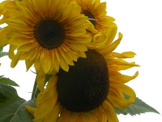 August 21 2007, Sunflower plant, full bloom