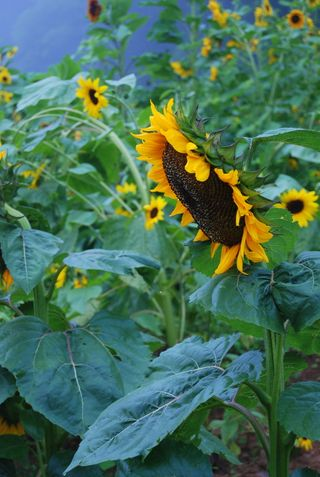 August 3 2008, sunflower garden