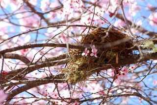 Nest in the cherry tree