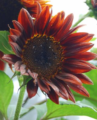 August 3 2008, red sunflower, full bloom