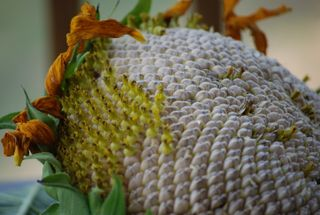 August 10 2008, sunflower, gone to seed