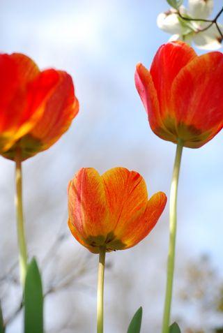Three orange tulips