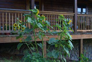 Sunflowers at my front door