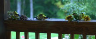 Three goldfinches...can you see them?