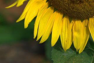 The last sunflower of the season