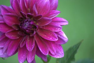 Another one of the purple Dahlia