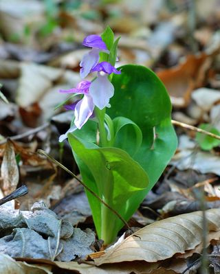 More Showy Orchis