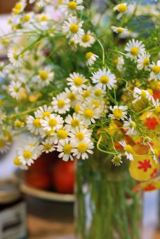 Chamomile in the kitchen