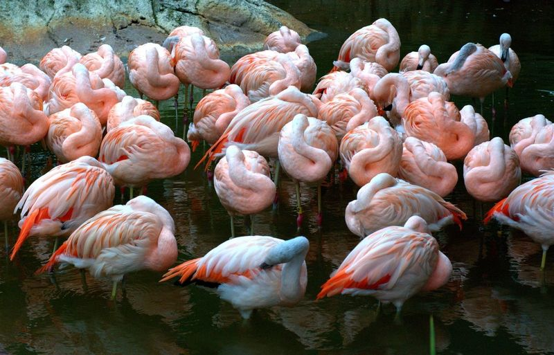 Flamingos with heads tucked under