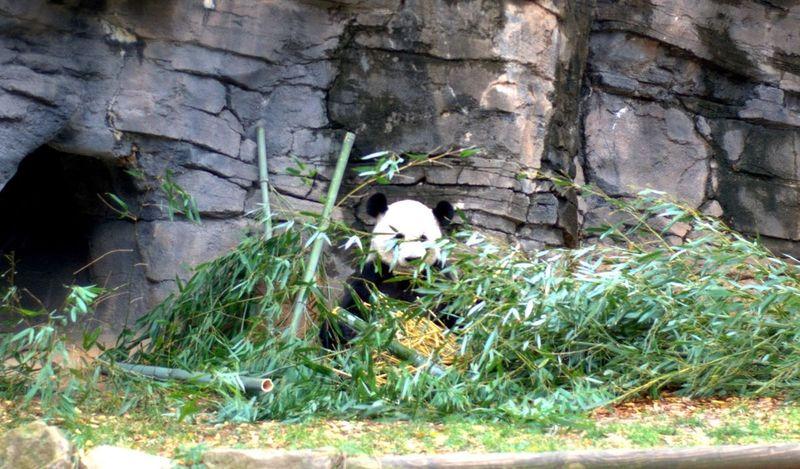 Daddy Panda