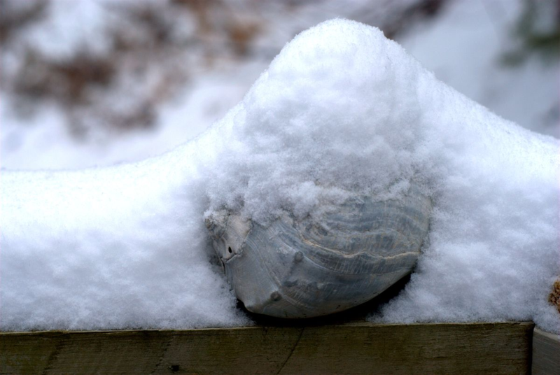 Seashell covered in snow