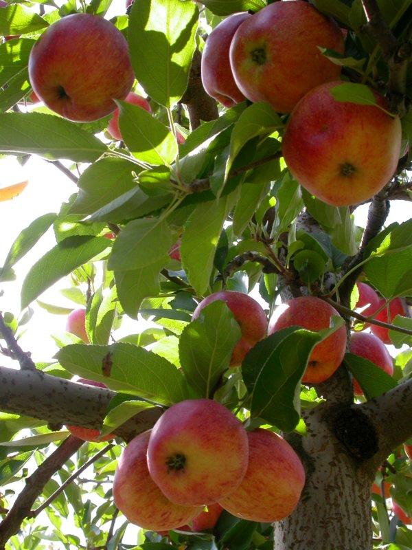 Apples_5