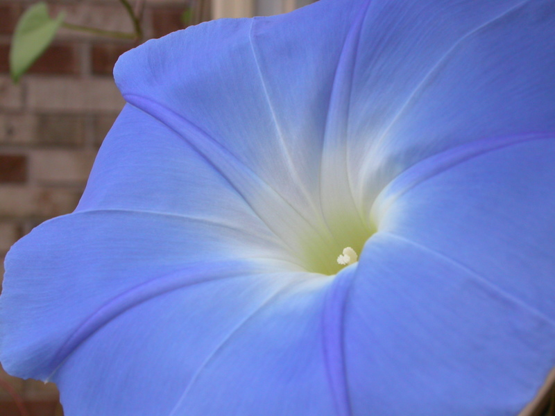 Morning_glories_3