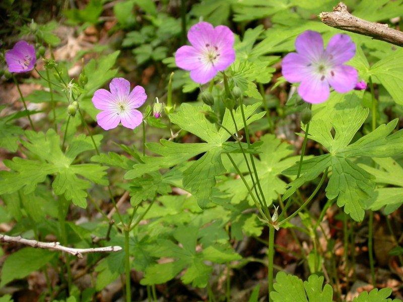 Wild_geranium